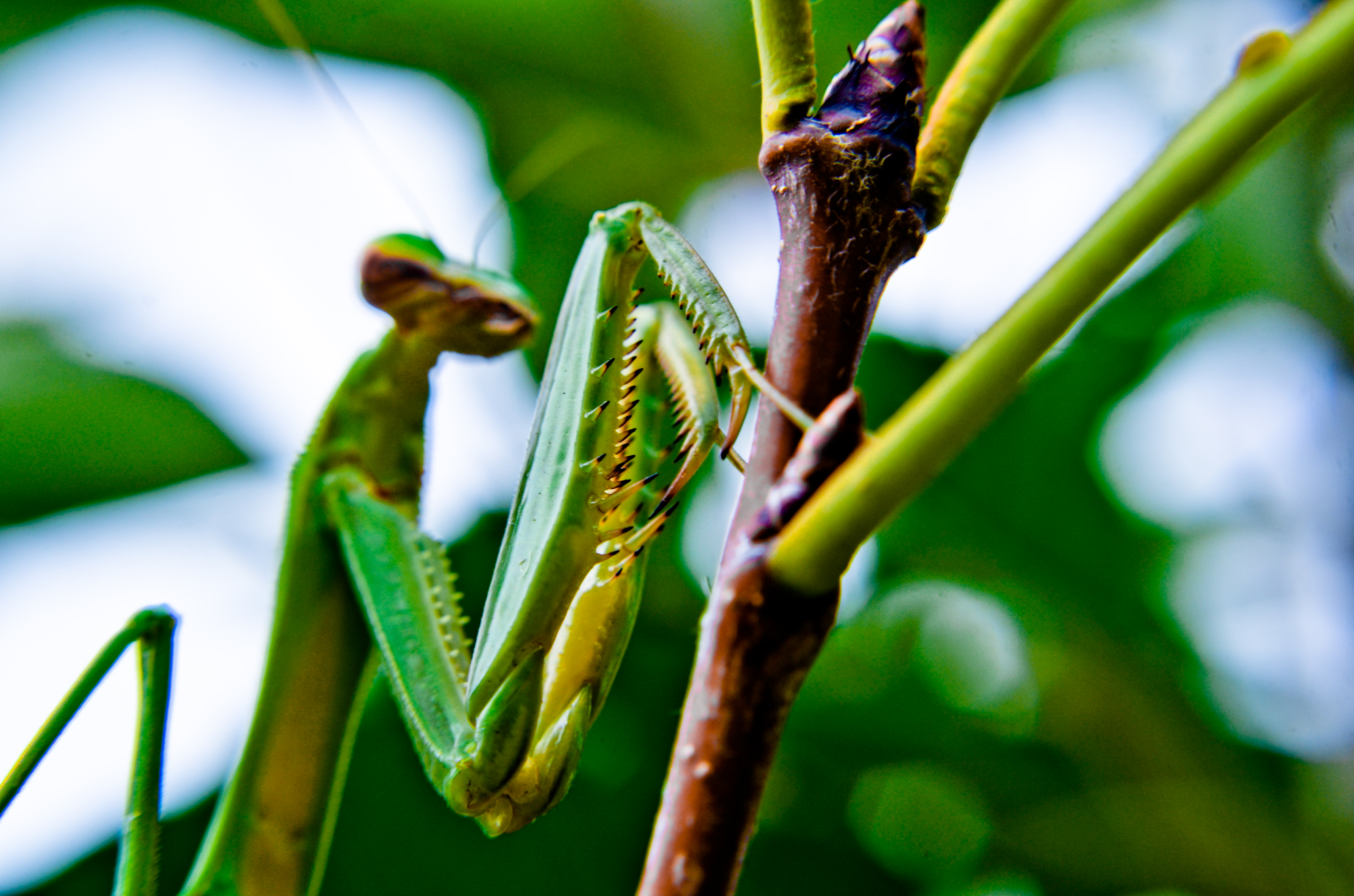Mantis religiosa